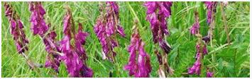 соцветие растения