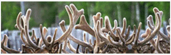 рога оленей